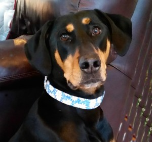 Poppy Doberman PitBull mix, therapy dog
